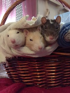 3 rats in a basket - Album on Imgur