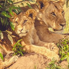 Lionesses are just big fluffy cats.   Shot in The Maasai Mara National Reserve.