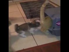 Bossy Puppy Cleverly Puts Unsuspecting Kitty Cat In His Place Funny Animal Memes, Funny Animals, Cute Animals, I Love Cats, Cute Cats, Real Funny Videos, Cute Puppies, Dogs And Puppies, Pet Dogs