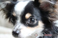 Stockphotosbank photo of a very cute little Chihuahua, looking into the camera.