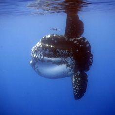 Sunfish, Mola Mola, by Kirk Motters.  I've never seen one with these kind of markings before.  Nice pic.