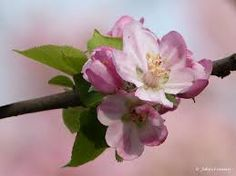 Afbeeldingsresultaat voor appelbloesem