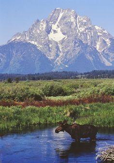 Moose in Grand Teton National Park, Wyoming
