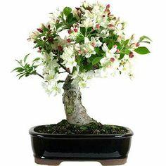 die 38 besten bilder von bonsai bunt bl hend fruchtig bonsai blumen pflanzen und garten. Black Bedroom Furniture Sets. Home Design Ideas