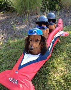 dachshund sled team | We can't help but smile at this dachshund and his bobsled team.