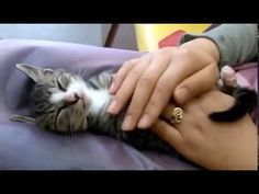 Easy Method To Make Your Kitten Fall Asleep Quickly - http://www.thecutestkitties.com/easy-method-to-make-your-kitten-fall-asleep-quickly/