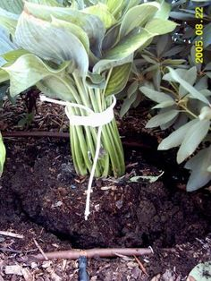 How to move hostas... this gardener recommends tying & taping the plant with rope & masking tape.  Then after plant is dug up, drop it back into the hole 2 times to remove big clumps of dirt; then watering it in it's new hole and THEN backfilling with dirt & watering AGAIN.  I will have to try this.