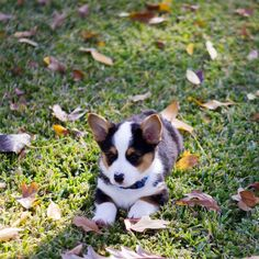 Corgi Toby - officially the cutest thing I've seen all day!