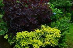 If you need a screamer: Royal Purple smoke bush and Mexican Orange (choisya ternata 'Sundance')