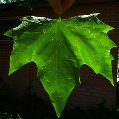 American Sycamore Tree Leaf