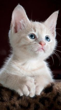 Kittens And Puppies, Cute Cats And Kittens, Kittens Cutest, Cute Baby Cats, Cute Funny Animals, Funny Cats, Pretty Cats, Beautiful Cats, Beautiful Women