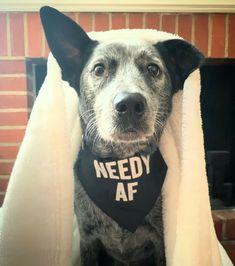 Boston Terrier, Dogs, Animals, Animales, Boston Terriers, Animaux, Doggies, Animais, Dog