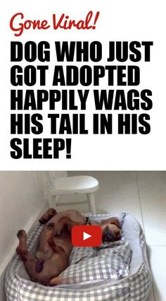 This dog wags his tail when he sleeps!