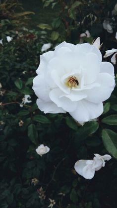 White rose garden.