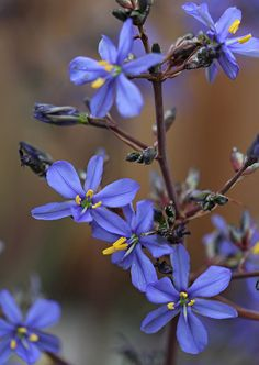 Aristea inequalis - From Annie's Annuals
