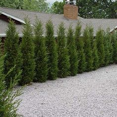 Taylor Juniper is an excellent, extremely narrow upright selection. It has dark green color in summer and a purple tone in winter. It's the perfect evergreen for a narrow space to create a screen in the landscape. Privacy Trees, Privacy Plants, Privacy Landscaping, Outdoor Landscaping, Front Yard Landscaping, Outdoor Gardens, Evergreen Trees Landscaping, Arborvitae Landscaping, Privacy Hedge