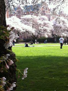 Cherry Blossoms at the University of Washington - Seattle.