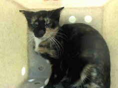 SAFE! TO BE DESTROYED 9/26/14 ** Harmony was brought to the shelter as a stray and  she was displaying behaviors that preclude placement in the adoptions room and may require further investigation before placement in a home. Please foster, adopt or pledge to save this scared young baby today!! ** Brooklyn Center  My name is HARMONY. My Animal ID # is A1014394. I am a female calico domestic sh. The shelter thinks I am about 7 MONTHS old.  I came in as a STRAY on 09/17/2014 from NY 11224