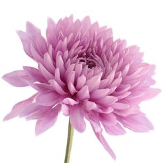 FiftyFlowers.com - Dahlia Style Cremon Pink Lavender 90 stems for $110