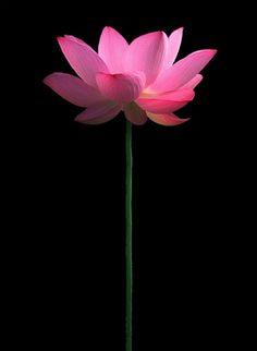 lotus flower. bahman farzad