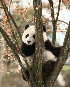 Information about types of pandas that exist in the world. Not only that, you can find fun facts about giant pandas and red pandas too. Cute Wild Animals, Animals Beautiful, Animals And Pets, Funny Animals, Nature Animals, Photo Panda, Niedlicher Panda, Wild Panda, Panda Facts