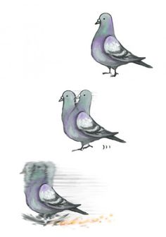 Pigeons are just like ...