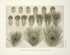 Evolution of the eyes on a Peacocks train.  - NYPL Digital Collection