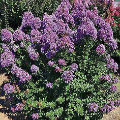 Purple Magic is a reblooming Crapemyrtle with a dwarf habit and vibrant violet flowers plus red spring foliage.