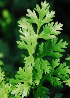 Cilantro (aromatica y curativa)