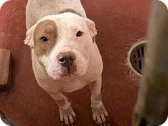 Atlanta, GA - American Pit Bull Terrier. Meet MARISSA, a dog for adoption. http://www.adoptapet.com/pet/9815762-atlanta-georgia-american-pit-bull-terrier