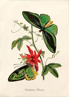 The Cabinet Of Oriental Entomology - Being A Selection Of Some Of The Rarer And More Beautiful Species Of Insects, Natives Of India And The Adjacent Islands, The Greater Portion Of Which Are Now For The First Time Described And Figured - 1848 Butterfly Images, Butterfly Drawing, Butterfly Painting, Butterfly Kisses, Green Butterfly, Vintage Butterfly, Botanical Illustration, Botanical Prints, Bird Illustration