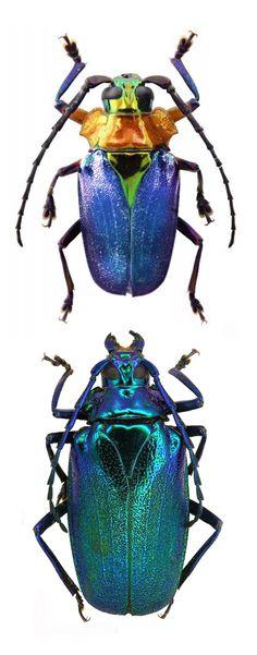 Esmeralda laetifica ~ETS #bug #entomology #beetle