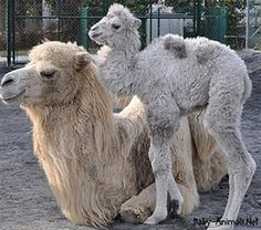 Baby camel 3