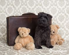 Andre (Miniature Schnauzer)  Bags are packed, teddies are ready!