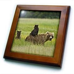 """Alaska, Lake Clark National Park, Grizzly bears - US02 BTH0016 - Brenda Tharp - 8x8 Framed Tile by 3dRose. $22.99. Inset high gloss 6"""" x 6"""" ceramic tile.. Cherry Finish. Keyhole in the back of frame allows for easy hanging.. Dimensions: 8"""" H x 8"""" W x 1/2"""" D. Solid wood frame. Alaska, Lake Clark National Park, Grizzly bears - US02 BTH0016 - Brenda Tharp Framed Tile is 8"""" x 8"""" with a 6"""" x 6"""" high gloss inset ceramic tile, surrounded by a solid wood frame with pre-drilled k..."""