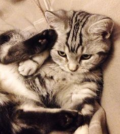British shorthair, kitten, cat