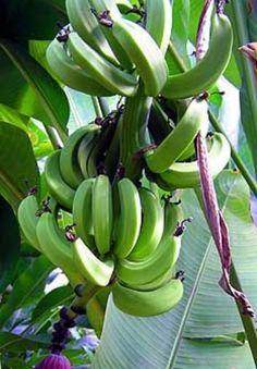 Mi love green banana