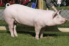 large pig - Google Search