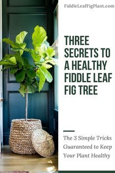 Over and under watering are the two most common killers of a fiddle leaf fig tree. As a new plant owner, the best thing you can do for your tree is master the art of watering. Luckily, there's one simple secret to water your plant the right amount and kee Fig Leaf Tree, Fig Leaves, Indoor Flowers, Indoor Plants, Ficus Tree Indoor, Air Plants, Diy Origami Lampe, Cactus Plante, Fiddle Leaf Fig Tree