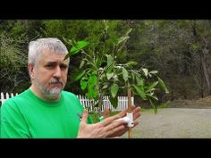 Identifying Rootstock Suckers On Mandarin Orange Tree