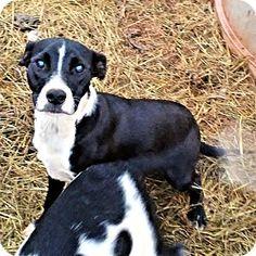 Nashua, NH - Labrador Retriever/Pit Bull Terrier Mix. Meet Jazz, a puppy for adoption. http://www.adoptapet.com/pet/18127614-nashua-new-hampshire-labrador-retriever-mix