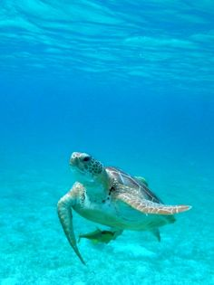 Turtles underwater in Barbados