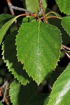 Betula occidentalis - Water Birch - Zone 3
