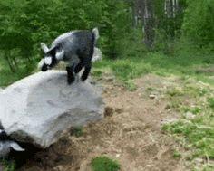 Parkour Goat #funny #goats