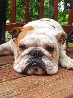 Bored Bulldog.
