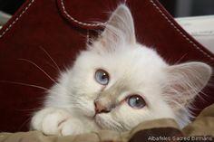 Sacred cat of Burma - colours & standard