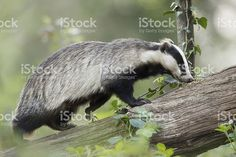 european-badger-picture-id170437062 (1024×683)