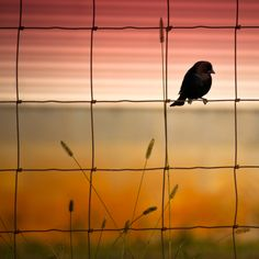 Bird on a Wire Fence - this is a NEAT photo - What a great job the photographer did in capturing it so well!