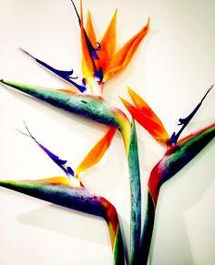 Les strelitzias, aussi connus sous le nom de Oiseau du Paradis