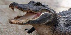 [Si no lo viste] VÍDEO: Atrapan cocodrilo gigante de 800 libras...